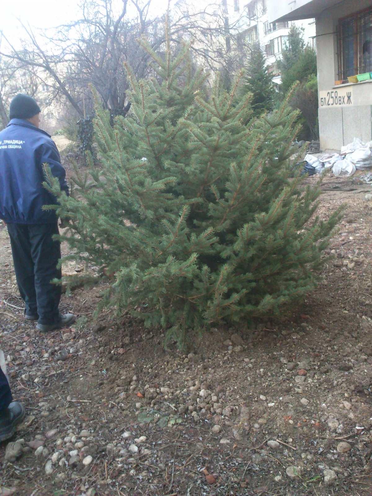 дърво1
